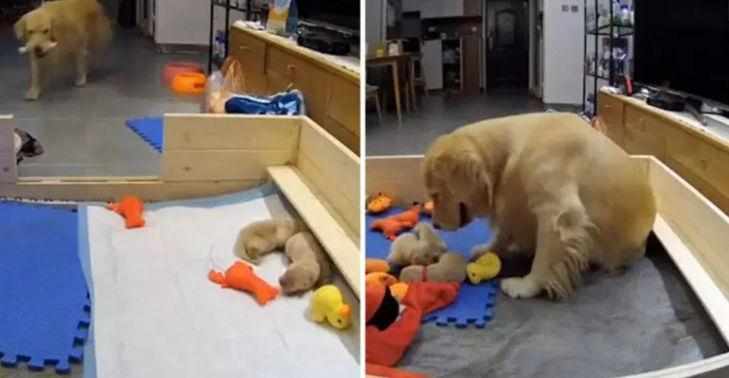 First-Time Golden Retriever Mom Consoles Her Crying Puppies By Bringing Them Her Favourite Toys