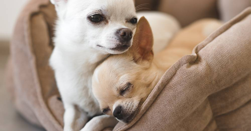Abandoned Chihuahua Rescued from Dumpster Finds a New Beginning