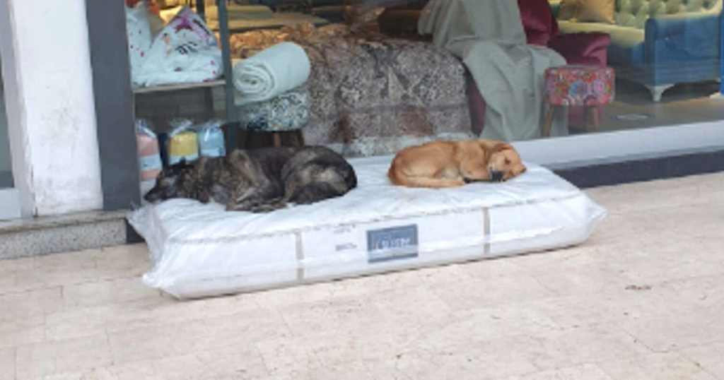 Furniture Store Lays Out A New Mattress For The Local Stray Dogs To Sleep On